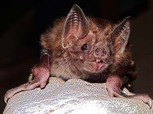 A common vampire bat. Photo by Daniel Streicker.