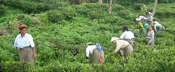 Women picking tea in India. (Credit: Sarah Besky)