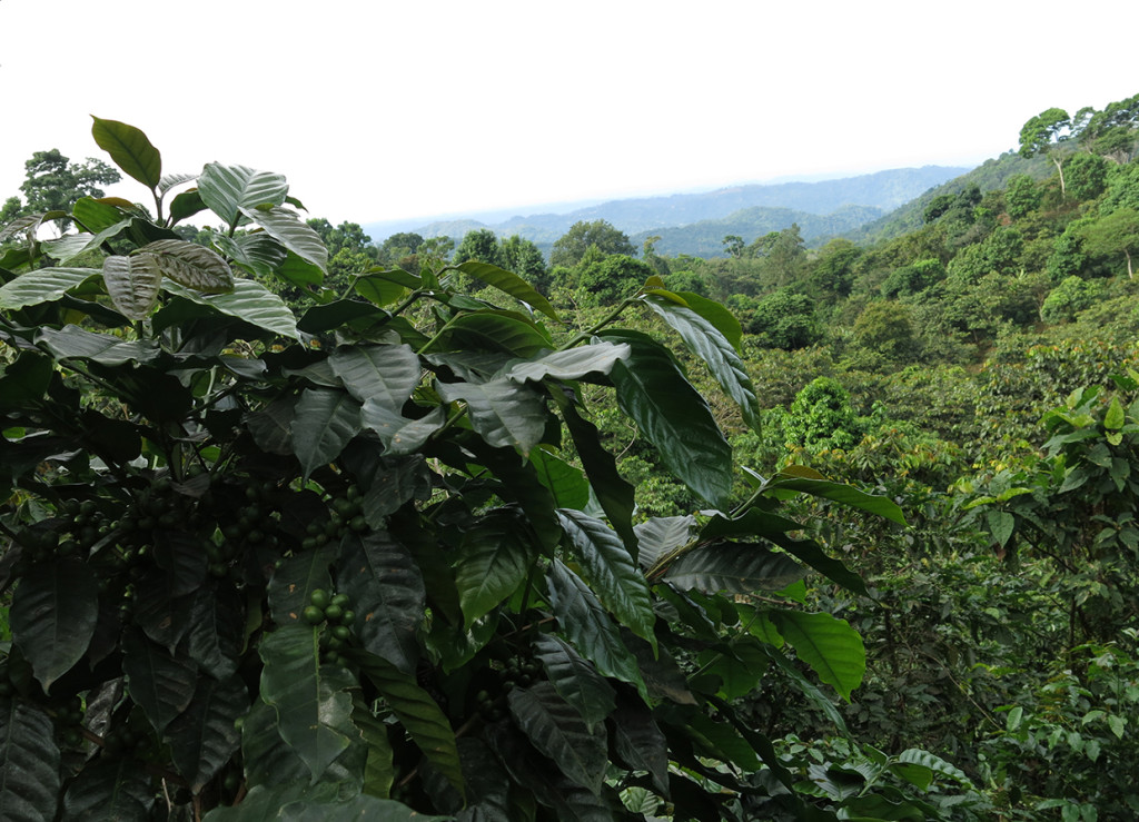 The Finca Irlanda shade coffee farm in Mexico's southern Chiapas state.