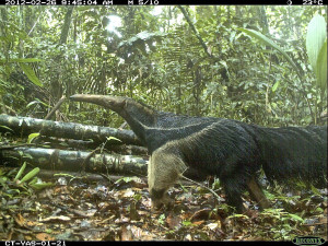 A giant anteater in Yasuní National Park, Ecuador. (Courtesy of TEAM Network and Missouri Botanical Garden)