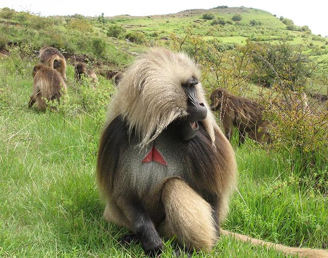 A male gelada monkey making a wobble call. (Photo by Morgan Gustison)