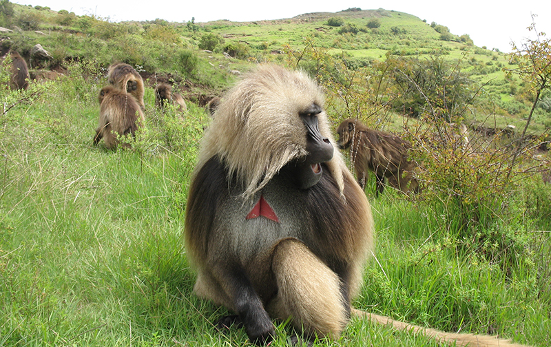 A male gelada monkey making a wobble call. (Photo by Morgan Gustison)