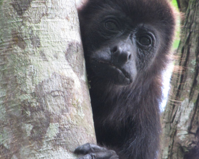 A female mantled howler monkey in Tabasco, Mexico. (Credit: Milagros Gonzalez)