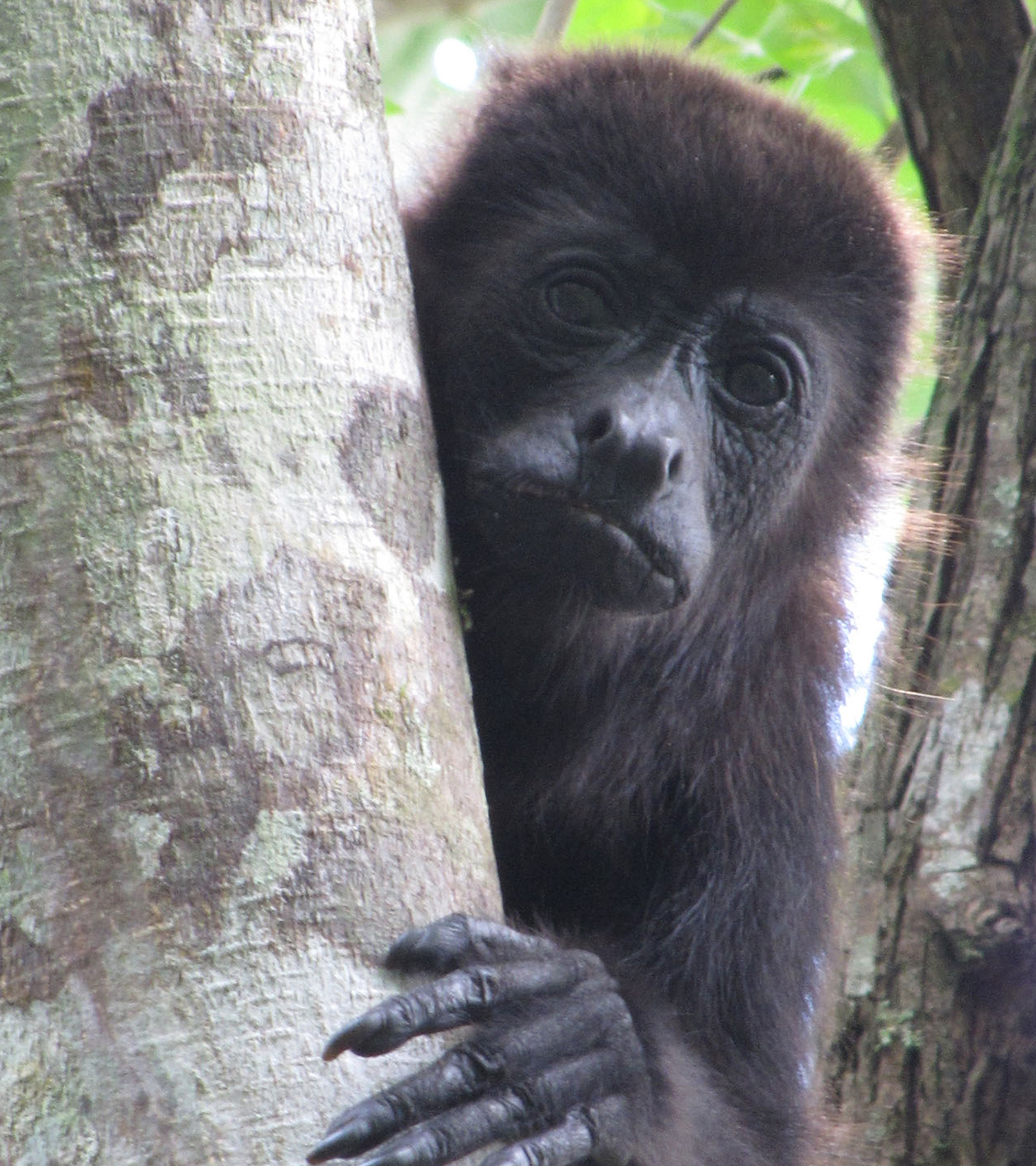 howler monkeys in nicaragua why are they dying global michigan