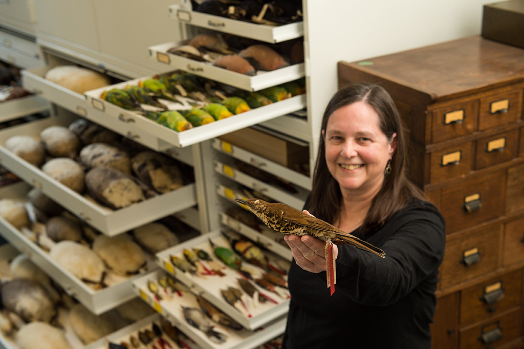 Janet Hinshaw, manager of the bird collection at U-M's Museum of Zoology, holds the specimen used to identify the new species -- the Himalayan brown thrush. (Credit: Austin Thomason - Michigan Photography)