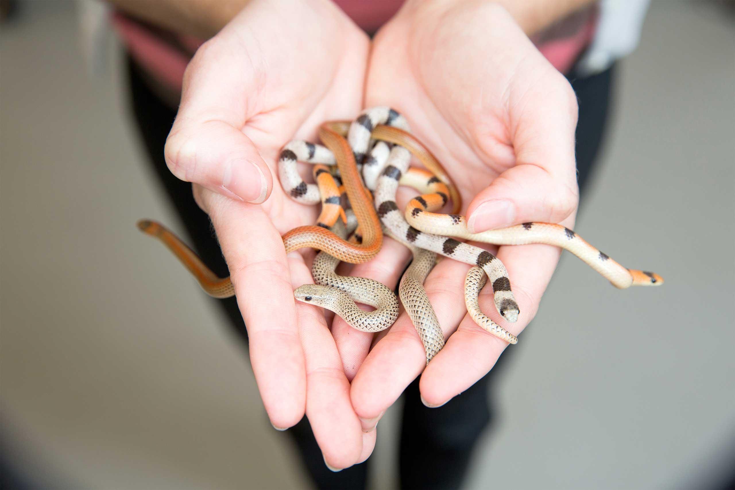 1_mimicking-venomous-snakes-orig-20130625