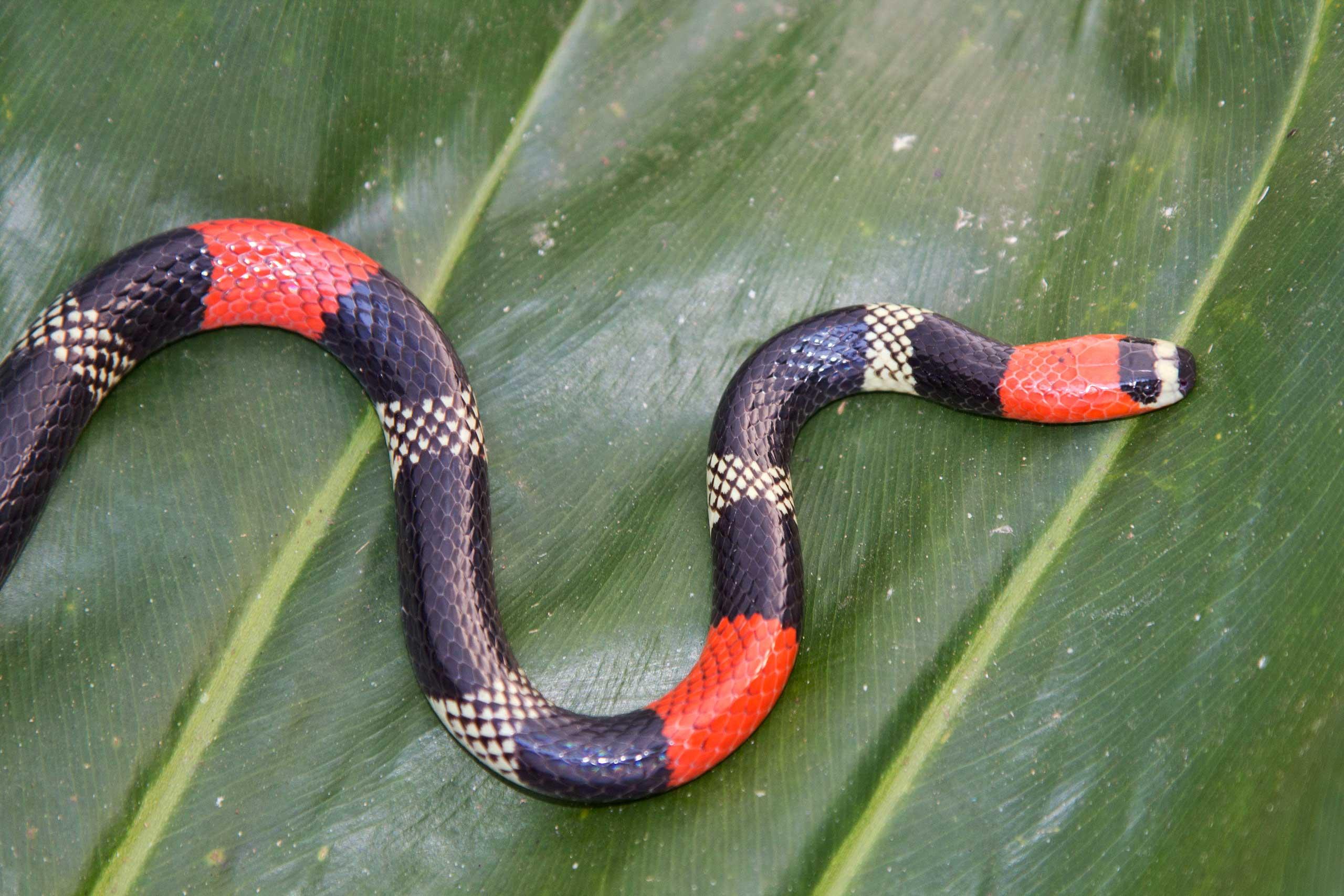 фото змеи рыже черная обслуживается одной