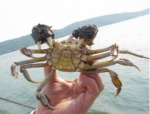 invasions-crab-asia