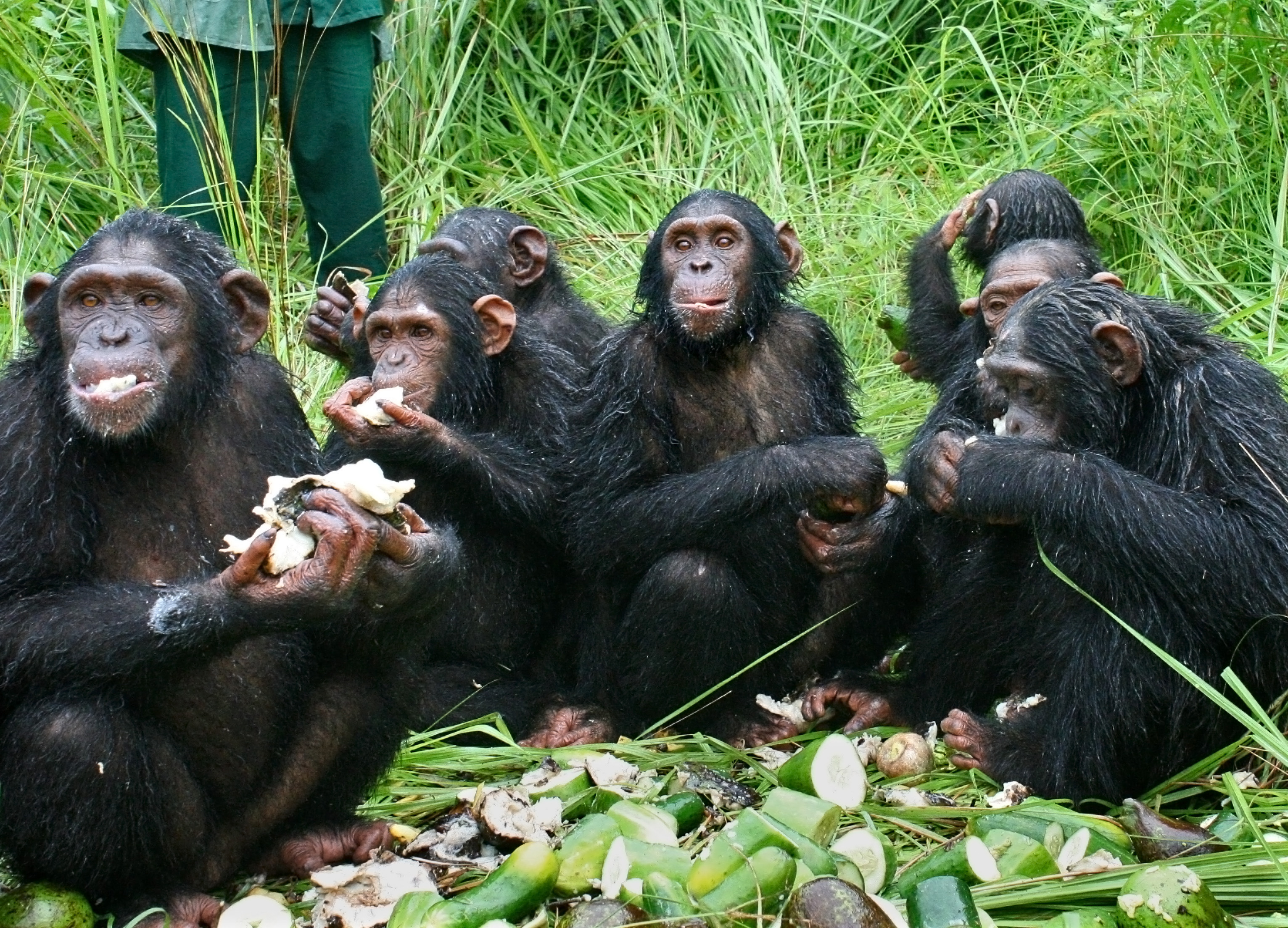 The chimpanzees gather for a meal. Image credit: Jane Goodall Institute / By Fernando Turmo