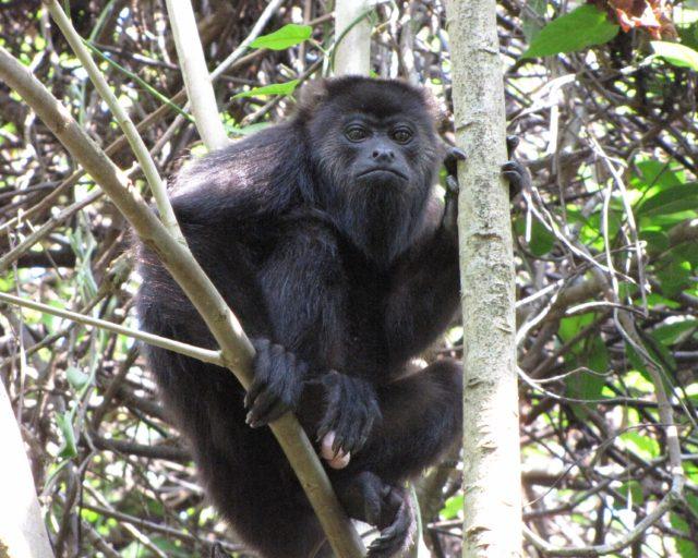 Un joven macho aullador en Tabasco, México. Aunque parece un mono aullador negro, este individuo es probablemente un híbrido de dos especies, el mono aullador negro y el mono aullador de manto. Foto de Milagros González.