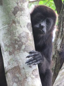 A female mantled howler monkey in Tabasco, Mexico. Image credit: Milagros González
