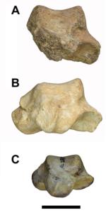 Talus (ankle bones) A) Gona (Ardipithecus ramidus) (specimen #: GWM67/P2b), 4.5 Million years old B) Middle Awash (Ardipithecus ramidus) (specimen #: ARA-VP-6/500-023), 4.4 Ma C) Hadar 'Lucy' (Australopithecus afarensis) (specimen #: A.L. 288-1as), 3.2 Ma. Image credit: Scott Simpson, CWRU School of Medicine.