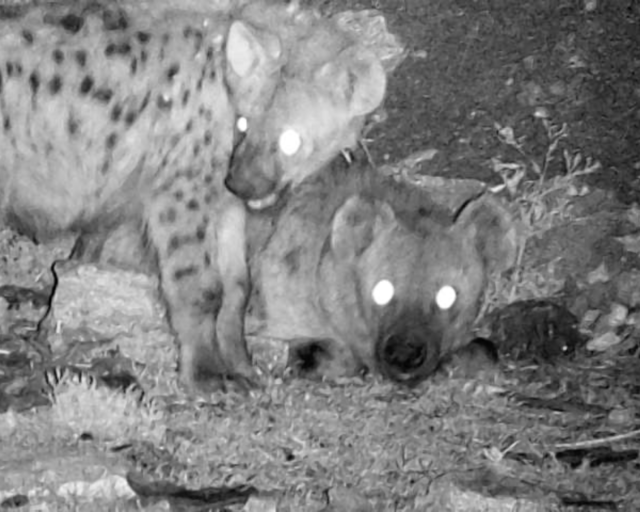 Juvenile (left) and adult spotted hyenas at night in Mekelle, Ethiopia. Image credit: Chinmay Sonawane